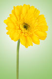 Yellow gerbera daisy flower Stock Photography