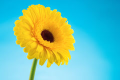 Yellow gerbera daisy flower on blue Stock Image