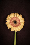 Yellow Gerbera Daisy Stock Image
