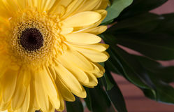 Yellow Gerbera Daisy flower stock images