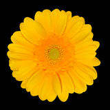 Yellow Gerbera Daisy Flower head Isolated on Black Royalty Free Stock Image