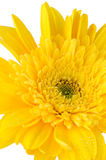 Yellow gerbera daisy flower. Isolated on white background Royalty Free Stock Images