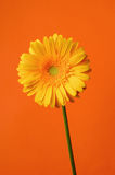 Yellow Gerbera Daisy flower Stock Photos