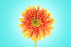 Yellow gerbera daisy flowers close-up isolated on blue background with clipping path. (Selective Focus) royalty free stock image