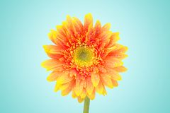 Yellow gerbera daisy flowers close-up isolated on blue background with clipping path. (Selective Focus) stock photo