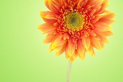 Yellow gerbera daisy flowers close-up isolated on green background with clipping path. (Selective Focus) stock photo