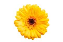 Free Yellow Gerbera Daisy Isolated Royalty Free Stock Photos - 176905248