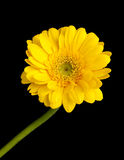 Yellow gerbera daisy isolated Stock Photos