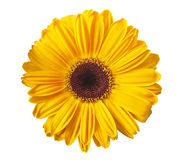 Yellow gerbera. Daisy isolated on white Royalty Free Stock Image