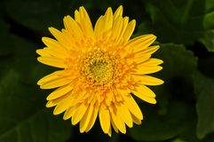Yellow Gerbera Daisy with Leaf Background Royalty Free Stock Photos