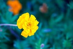 Yellow Gerbera Stock Photos