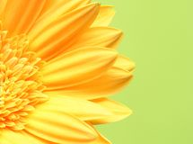 Yellow Gerbera Detail Stock Image