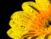 Yellow gerbera with dew drop Stock Photo