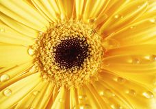 Yellow gerbera and dew royalty free stock images