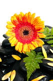 Yellow  gerbera and fern on black zen stone Stock Photo