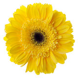 Yellow gerbera flower. Closeup. Isolated on white Royalty Free Stock Image