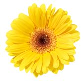 Yellow Gerbera Flower Stock Photos