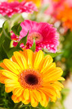 Yellow gerbera flower. Agaisnt green blurred background Royalty Free Stock Images