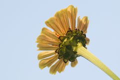 Yellow gerbera flower from below. Shot from below of a yellow gerbera Stock Photo