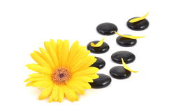 Yellow gerbera flower and black zen stone Royalty Free Stock Image