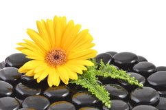 Yellow gerbera flower and black zen stone Stock Image