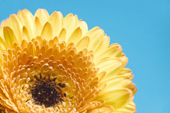 Yellow gerbera flower on blue background Royalty Free Stock Image
