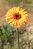 Yellow gerbera flower Royalty Free Stock Photography
