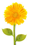Yellow gerbera flower Royalty Free Stock Photography