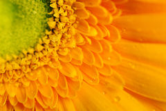 Yellow gerbera flower closeup Stock Photography