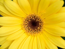Yellow Gerbera flower Stock Images