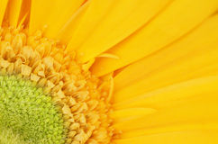 Yellow gerbera flower detail Royalty Free Stock Images