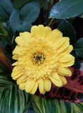 Yellow gerbera flower in garden. Nature and botany, decorative plant for gardens, natural flower with petals and colors Stock Photo