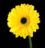 Yellow Gerbera Flower with Green Stem Isolated Stock Photos