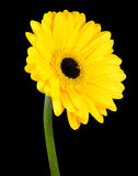 Yellow Gerbera Flower with Green Stem Isolated Stock Images