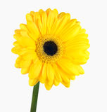 Yellow Gerbera Flower with Green Stem Isolated Royalty Free Stock Images
