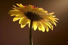 Yellow Gerbera Flower Stock Photos