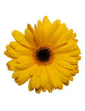 Yellow gerbera flower isolated. On white with clipping path Stock Photos