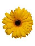 Yellow gerbera flower isolated stock photos