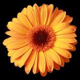 Yellow gerbera flower Stock Image