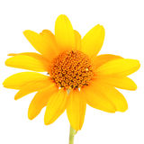 Yellow gerbera flower Stock Photo