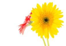 Yellow gerbera flower Stock Photo