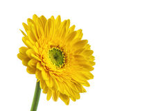 Yellow gerbera flower,. Isolated on white background Stock Images