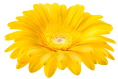 Yellow gerbera flower isolated on white background. With clipping path Stock Image