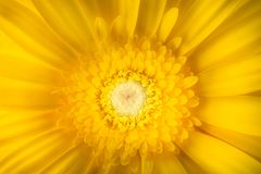Yellow gerbera flower isolated on white background. Macro photography Royalty Free Stock Photos