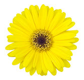 Yellow gerbera flower isolated on white Royalty Free Stock Image
