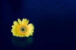Yellow gerbera flower Royalty Free Stock Photos