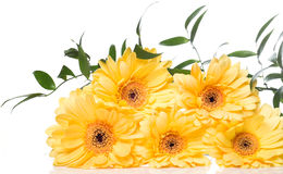 Yellow gerbera flower over the white background. Beautiful yellow gerbera flower over the white background Stock Image