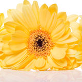 Yellow gerbera flower over the white background Royalty Free Stock Images