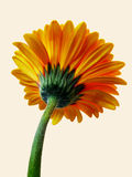 Yellow gerbera flower viewed from underside Royalty Free Stock Photo