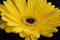 Yellow gerbera flower with water drops on petals Stock Photography